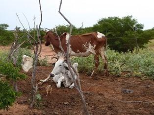 Niger koeien